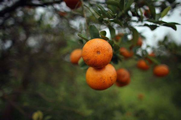柑橘(Joe Raedle/Getty Images)