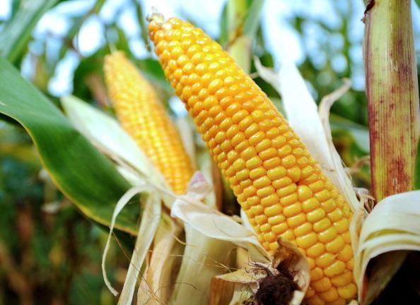 玉米(PHILIPPE HUGUEN/AFP/GettyImages)