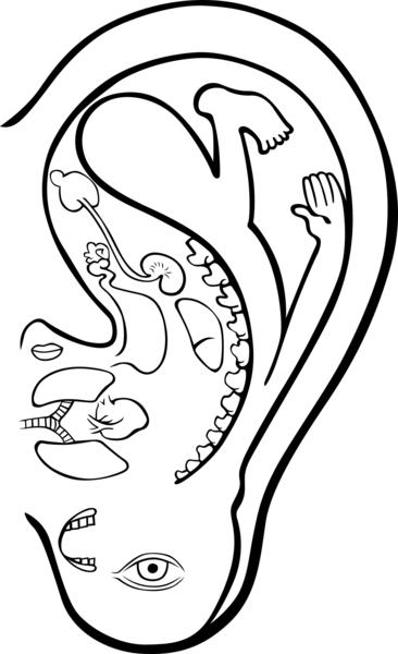 耳朵是人體的縮影,幾乎所有臟器的變化都能從耳朵上表現出來。(fotolia)