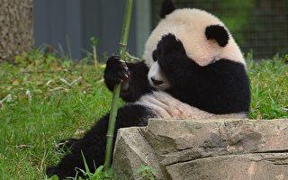 """大熊猫""""宝宝""""上周六(8月23日)庆祝她一周岁的生日。(图片来源﹕MANDEL NGAN/AFP/Getty Images)"""