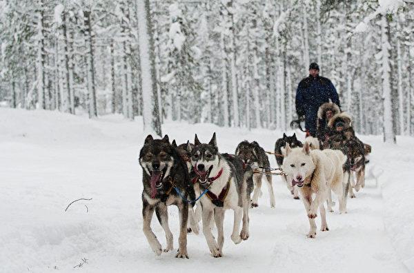 游客在芬兰的拉普兰乘坐狗拉雪橇(JONATHAN NACKSTRAND/AFP)