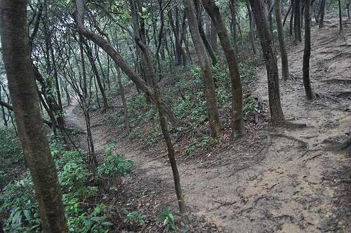 森林泥徑,循稜而上。(圖片提供:Tony)