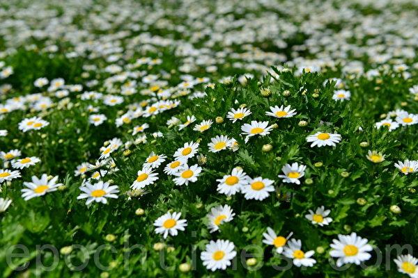 不同花卉--小白花(简玬/大纪元)