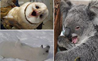 这些奇特的小动物开嗓,一定让你惊诧。(视频截图,视频截图,Getty Images/大纪元合成)