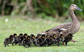 四段影片让你相信 鸭妈妈是伟大母亲