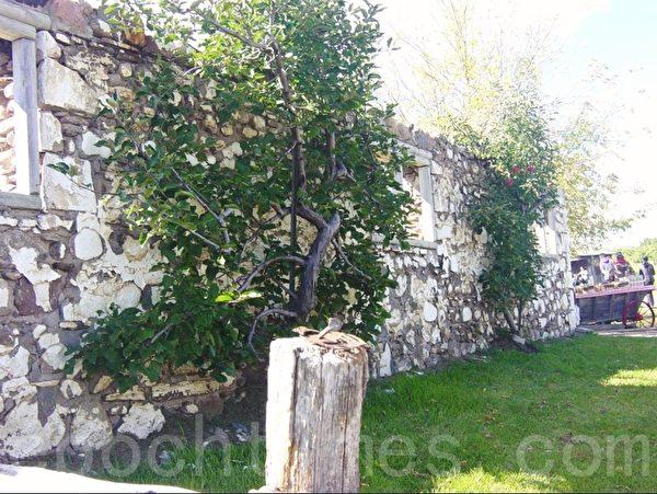 这两棵平面状生长的苹果树,只有在果园里见到,右面那棵还挂着几个大苹果。果树右边那个台子上放着所有不同品种的苹果,供顾客品尝。(李文笛/大纪元)
