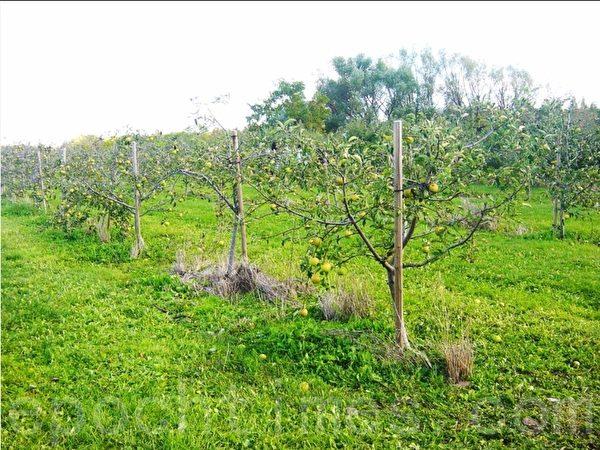 果园里有不少年轻的小树,别看树小,上面挂满了苹果。(李文笛/大纪元)