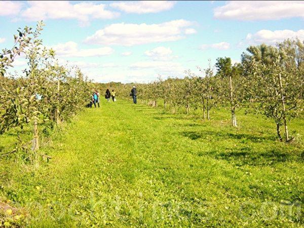 果园很大,顾客可以在这里尽情地周游、选择自己喜欢的苹果摘。(李文笛/大纪元)