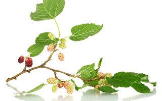 桑叶助眠 桑椹降血糖 桑树一身可入药