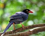 新詩:台灣藍鵲