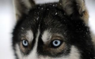 美国阿拉巴马州一名毒贩所饲养的哈士奇犬,在2014年10月28日协助警方,找到藏在草丛中躲避警方的主人。本图为芬兰的雪橇哈士奇犬。(OLIVIER MORIN/AFP)