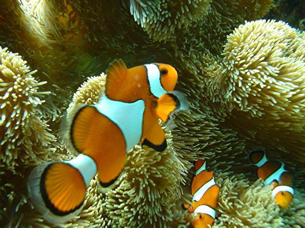 日本沖繩宮古島海水晶瑩透徹,海裡有100種以上的熱帶魚和70種以上的珊瑚礁。圖為,海葵魚中的一種類。(由宮古島「Eco Guide Cafe」提供)
