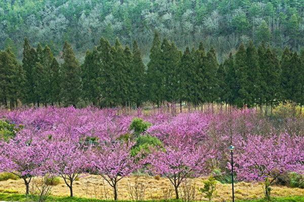 陈文彬摄影作品〈武陵樱花〉。(陈文彬提供)