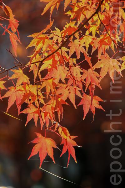 日本著名景点升仙峡的红叶,摄于2014年11月8日。(野上/大纪元)