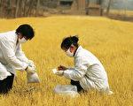 相关研究显示,食用基改作物致使实验室的仓鼠、大鼠,产生不孕、肿瘤、过敏及其他肝肾病变。(AFP)