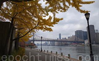 纽约罗斯福岛,河岸旁的树叶变色,充满秋意。(陈正洪/大纪元)