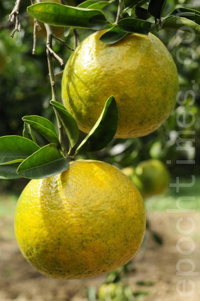 橘子(苏玉芬 / 大纪元)