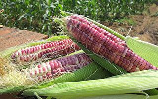 农委会持续推动农地活化,苗栗区农业改良场试办发现 ,种植黑糯玉米每公顷净收益可达新台币15万到20万 元,诱因高,值得推广。(苗栗区农业改良场提供)