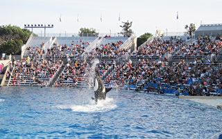 图:圣地亚哥海洋世界公园2017年1月8日后将不再有虎鲸表演。图为海洋世界之前的虎鲸表演。(杨婕/大纪元)