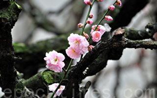 梅花(摄影:曹景哲/大纪元)