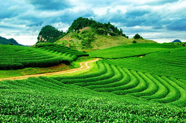 茶叶产地很重要,若是致癌物质残留在茶叶中被吃下肚,是很令人担心。(Fotolia)