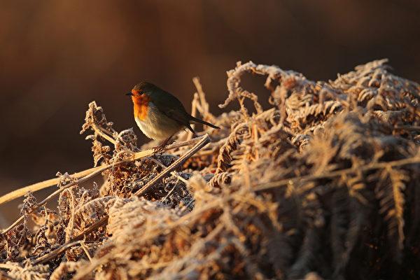 2014年12月29日,英国奥尔特灵厄姆,邓纳姆梅西公园里,一只歌鸲在享受温暖朝阳。(Christopher Furlong/Getty Images)