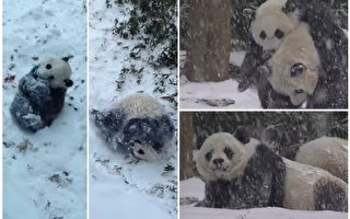 【视频】华盛顿动物园熊猫母子雪中嬉戏