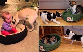 面对占据了狗窝的宝宝和猫咪,两只斗牛犬使出浑身解数。(视频截图/大纪元合成)