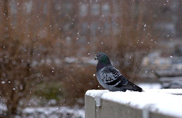 1月6日,一隻鴿子落在紐約皇后區的建築物上,雪覆蓋了建築物,政府敦促居民留在室內中避免凍傷和體溫過低的風險。(JEWEL SAMAD/AFP/Getty Images)