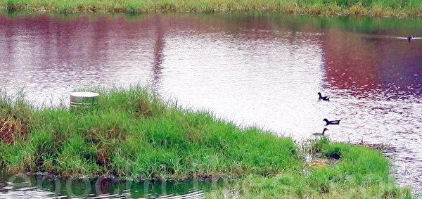 接雨水的养水鱼塭池,成群野鸟悠游水上。(赖友容/大纪元)