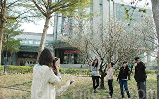 明道大学的冬梅盛开,散发淡淡幽香的白色小花,师生争相合影。(郭益昌/大纪元)