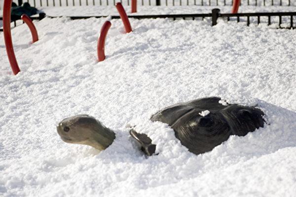 2015波士頓暴風雪後,烏龜被雪掩埋。(攝影:徐明/大紀元)