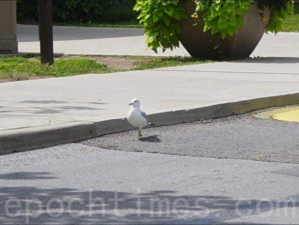 在停车场边旁若无人踱步的水鸟。(李文笛/大纪元)