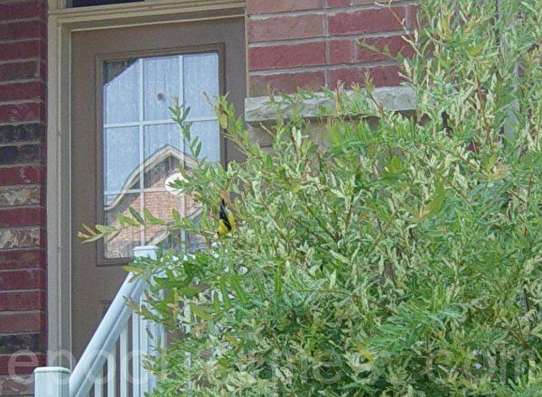 倒立在树枝上的小黄雀。(李文笛/大纪元)