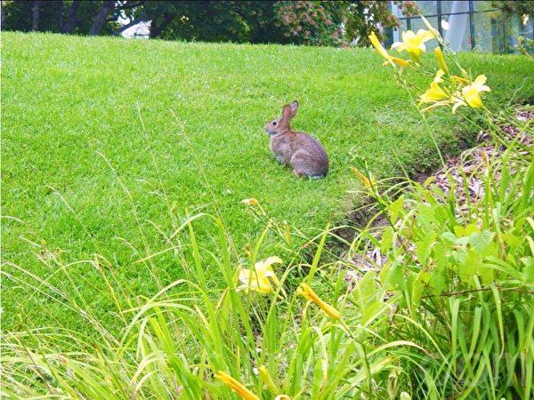 自由地穿行于花丛中的小兔子。(李文笛/大纪元)