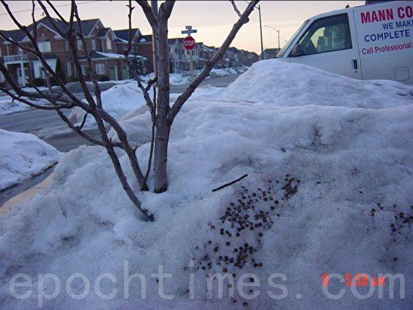 当草地被冰雪覆盖后,我发现了小兔子生存的艰难。这雪堆上的兔子屎和掉在地上的咬断的树枝,说明了牠的食物来源。不过这并没影响我家梨树的生长。当年还长了不少梨。(李文笛/大纪元)