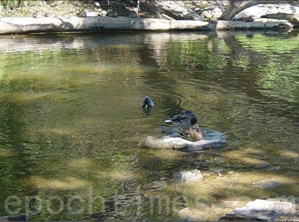 加拿大野鸭很多,雌鸭是灰色,雄鸭比较漂亮,它的脖子和头顶是绿色的,它们一般是成双活动。(李文笛/大纪元)