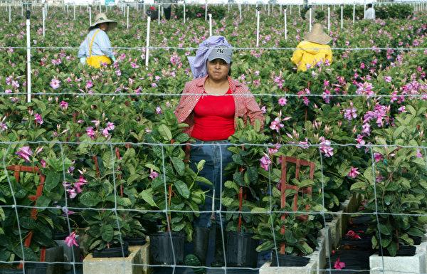 移民研究中心的報告並沒有列出移民在哪些職位上取代了美國人,也沒有討論移民從事工種是否為本土人士所不願做的。圖為美國移民農工在勞作。(Joe Raedle/Getty Images)