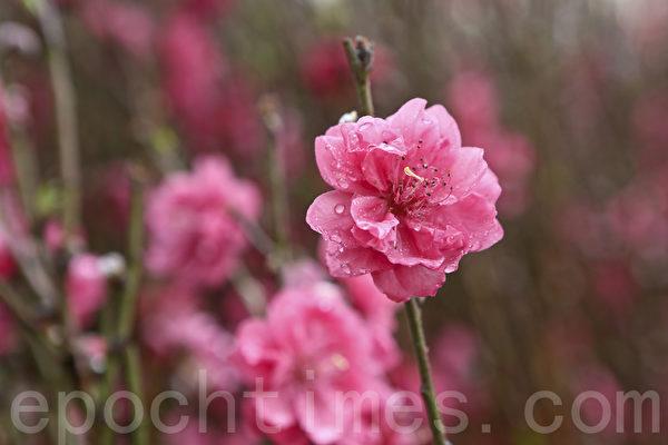 羊年新年临近,花商乘机推出各种年花应市,本港种植的桃花受港人喜爱。(余钢/大纪元)