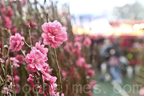 花商乘机推出各种年花应市,本港种植的桃花受港人喜爱。(余钢/大纪元)
