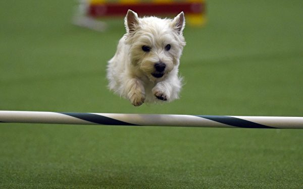 小狗在犬展的竞技比赛中。(TIMOTHY A. CLARY/AFP/Getty Images)