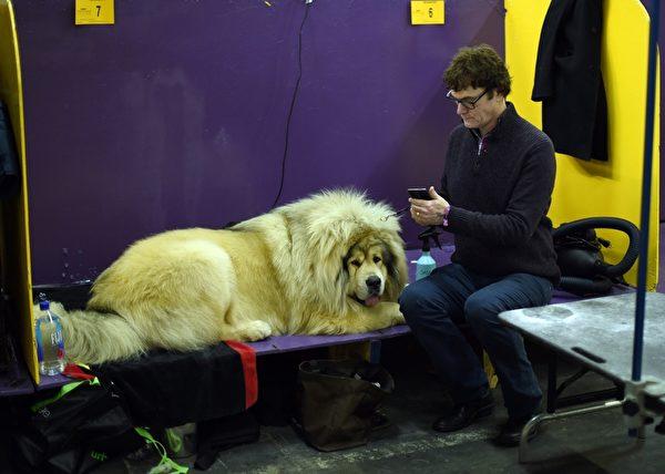 主人带着西藏獒犬等待比赛。(TIMOTHY A. CLARY/AFP/Getty Images)
