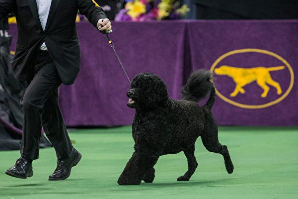最后一轮比赛中的葡萄牙水犬。(Andrew Burton/Getty Images)