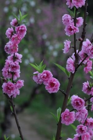 中国古人以杏花比美人。图为台湾猫空杏花开。 (台北市观传局提供/中央社)