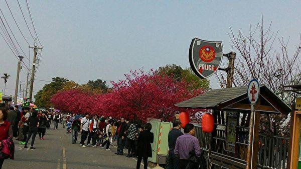 21日大年初三,許多民眾趁著好天氣外出走春,位於臺中市后里區的泰安派出所是著名賞櫻景點,一早就有大批民眾湧入賞櫻行春。(民眾提供)