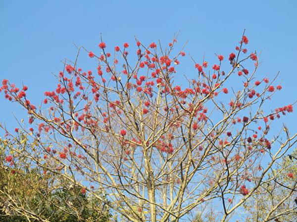 赏鸟平台附近结实累累的山桐子。(赖瑞/大纪元)