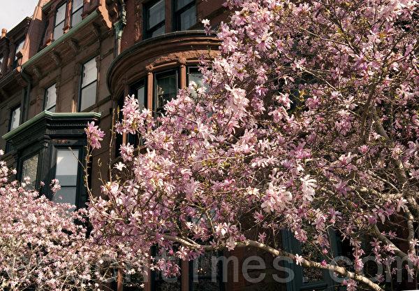 波士顿后湾区的玉兰树,在风中摇曳,美不胜收。(徐明/大纪元)