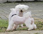 寵物狗(攝影:王嘉益  大紀元)