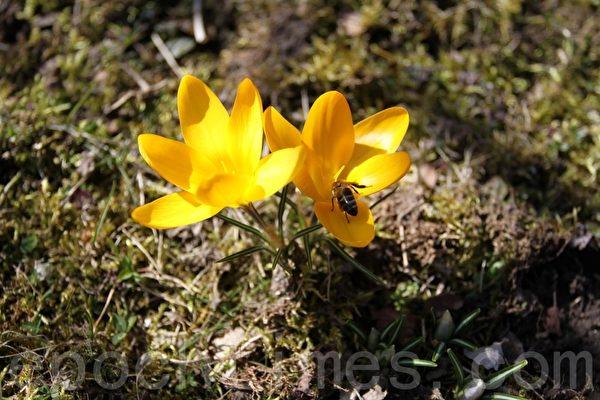 美丽的花朵吸引蜜蜂来采花粉。(张妮/大纪元)