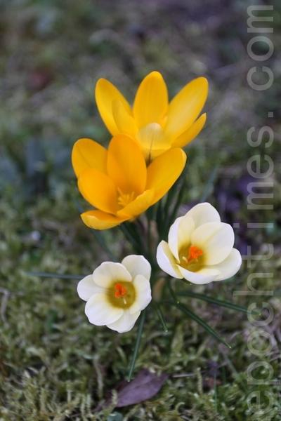 全世界共有约80种番红花。 (张妮/大纪元)